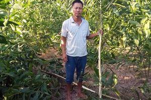 Kẻ xấu chặt hơn 3.000 cây keo của người dân