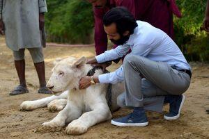 Nhà giàu Pakistan nuôi sư tử làm thú cưng
