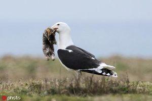 Chim mòng biển săn giết và ăn thịt cả thỏ gây choáng