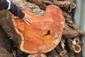Đấu giá không được, lô gỗ sưa 'trăm tỷ' ở Hà Nội có bị ép giá?
