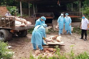 Cần Thơ: Tiêu hủy hơn 11.000 con lợn nhiễm tả châu Phi