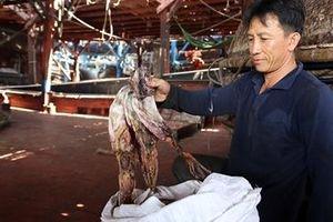 Quảng Nam kêu gọi hỗ trợ 'giải cứu' mực khơi khô