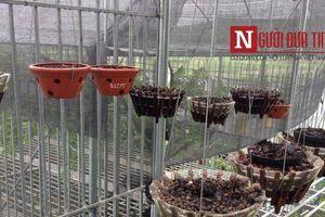 Vườn lan tiền tỷ bị trộm sạch trong đêm ở Phú Thọ, xót lòng tâm sự chủ vườn