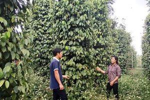 Hợp tác sản xuất hồ tiêu Organic