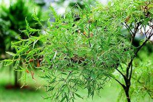 Vườn rau thuốc Nam nội trồng