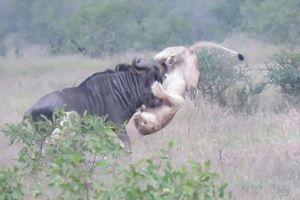 Bất cẩn khi săn mồi, sư tử bị linh dương húc thủng bụng