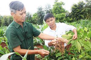 Đắk Lắk: Nhiều diện tích cà phê tái canh không thành công