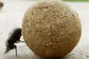 Khả năng định vị phi thường của bọ hung khiến 'GPS' phải chào thua