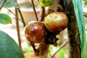 Chiêm ngưỡng vườn nho thân gỗ độc đáo ở xứ Cù Lao