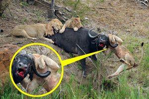 Sư tử bị trâu rừng húc thủng ngực