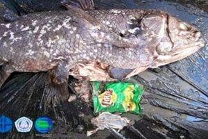 Phát hiện điều đau lòng trong bụng loài cá 'hóa thạch sống'