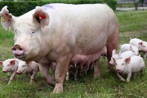 Mổ bụng lợn 200kg, phát hiện báu vật quý hiếm
