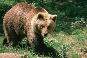 200 con cừu nhảy vực 'tự tử' vì bị gấu truy đuổi