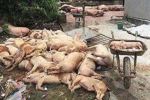 Tiêu hủy 3,3 triệu con lợn, dịch tả lợn Châu Phi tràn qua 62 tỉnh thành