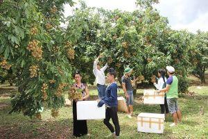 Tuần lễ Nhãn và nông sản an toàn tỉnh Sơn La 2019 diễn ra từ ngày 19/07 tại Hà Nội