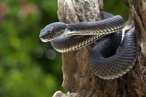 Hãi hùng nữ tặc sử dụng rắn đen để cướp xe