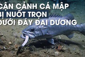 'Cá lớn nuốt cá bé', đến cá mập cũng thành con mồi