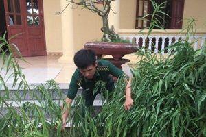 Thái Bình: Thu giữ, tiêu hủy gần 30 cây cần sa trồng… trước sân nhà