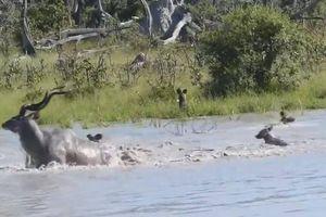 Trận kịch chiến giữa linh dương Kudu và bầy chó hoang dưới hồ nước