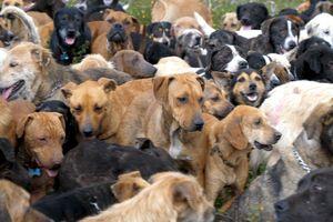 Lãnh thổ của bầy chó hoang gần 1.000 con dành cho hội yêu động vật