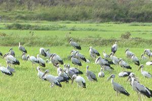 Clip: Đàn chim 'lạ' hàng ngàn con xuất hiện ở Quảng Trị