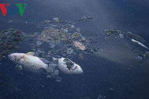 Nước sông Tô Lịch trở lại màu đen kịt và hôi thối, cá chết la liệt