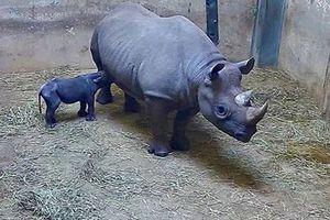Tê giác đen có nguy cơ tuyệt chủng vừa bất ngờ sinh con