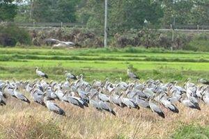 Hàng nghìn con chim lạ xuất hiện ở Quảng Trị là loài cò nhạn quý hiếm