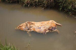 Người dân Quảng Nam lén lút vứt lợn chết xuống kênh