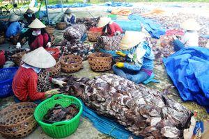 Đã có đầu ra cho 1.000 tấn mực khô tồn đọng tại Quảng Nam, Quảng Ngãi