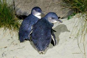 Cảnh sát NZ bắt cặp chim cánh cụt trốn trong nhà hàng sushi