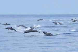 Đàn cá heo đua ấn tượng theo con thuyền ở vùng biển Mỹ
