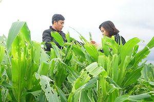 15.000ha bắp bị sâu keo mùa thu phá hoại
