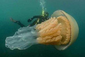 Xem thợ lặn dạo chơi với sứa khổng lồ, to như người