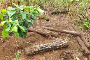 Lâm Đồng: Huy động người đào bới hàng trăm lóng gỗ thông bị chôn lấp dưới đất