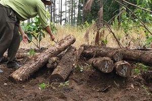 Phát hiện hàng trăm lóng gỗ bị chôn dưới lòng đất ở Lâm Đồng