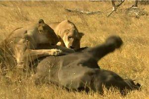 CLIP: Đàn sư tử phối hợp 'ăn ý', đoạt mạng voi rừng