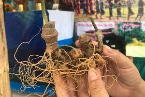 Sâm Ngọc Linh dấu ấn Tây Nguyên tại Festival Văn hóa Ẩm thực du lịch lớn nhất Nghệ An