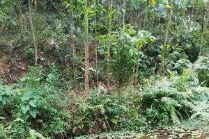 Phát hiện người đàn ông tử vong bất thường trong rừng keo, thi thể phân hủy mạnh