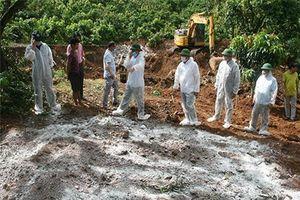 Sơn La: Tiêu hủy gần 10.000 con lợn nhiễm dịch tả châu Phi
