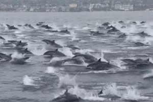 Cận cảnh hàng chục chú cá heo bơi nhảy trên mặt nước