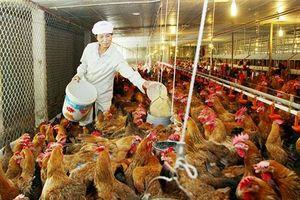 Thời cơ để tái cơ cấu mạnh mẽ ngành chăn nuôi