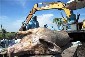 Bắt lợn thả rông bị dịch tả lợn châu Phi đi tiêu hủy