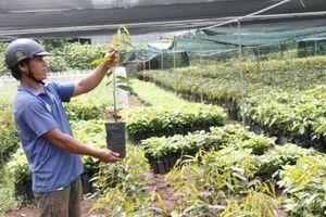 Cẩn trọng khi trồng sầu riêng Musang King