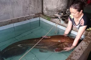 Câu được cá leo hơn 80 kg