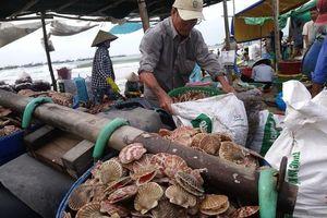 Ngư dân Mũi Né được mùa sò điệp, giá một ký chỉ bằng một gói mỳ tôm