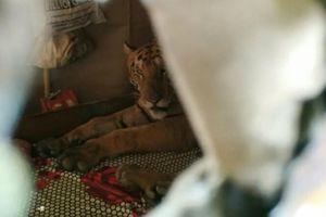 Hổ leo vào giường ngủ nhà dân tránh lũ lớn ở Ấn Độ