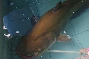 Câu được cá leo khủng nặng 80kg, dài hơn 2m ở sông Krông Ana