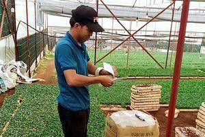 Lâm Đồng: Nhân giống hoa cúc 'xúc' tiền