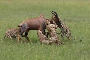 Linh cẩu 'giải cứu' linh dương khỏi nanh vuốt của báo săn